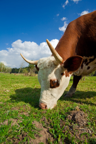 Grazing Cow Stock Photo - Download Image Now