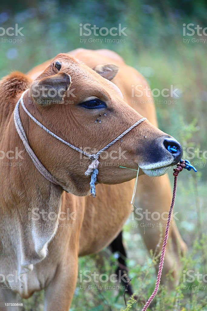 Grazing Cow, yellow cattle stock photo