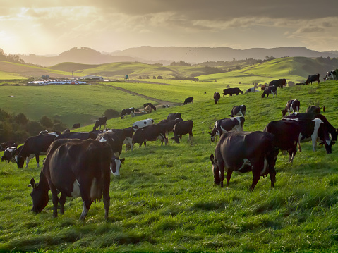 cows during sunset in new zealand countryside