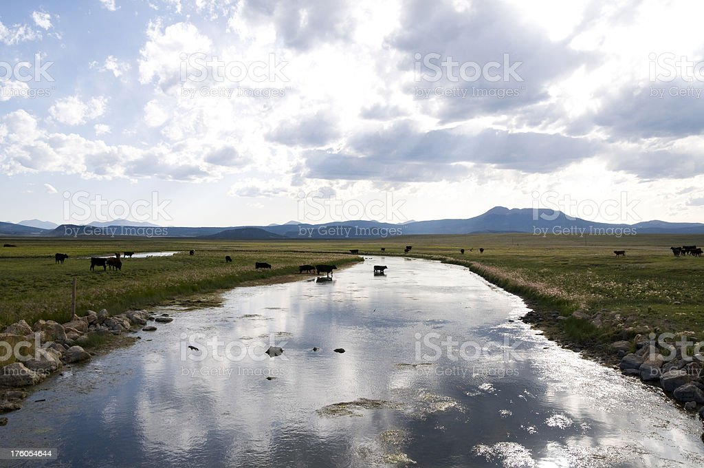 Grazing Cows in Mountain Meadow royalty-free stock photo