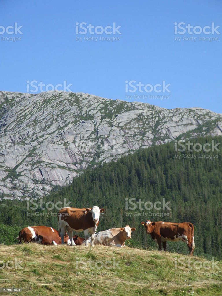 Grazing cows in mountains royalty-free stock photo
