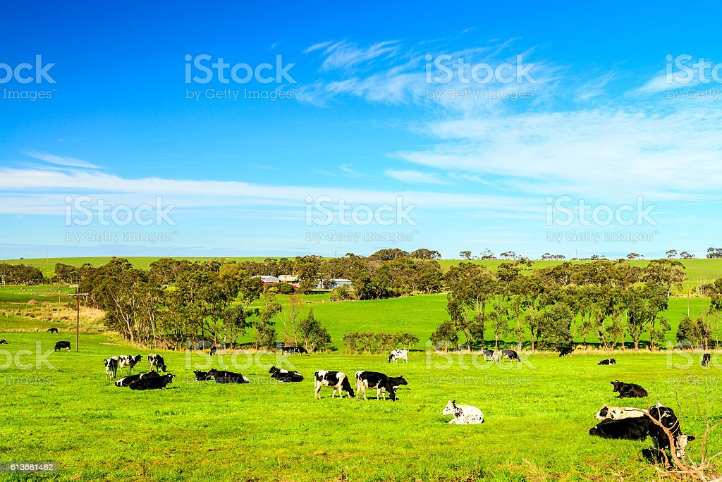 Grazing cows in rural South Australia stock photo