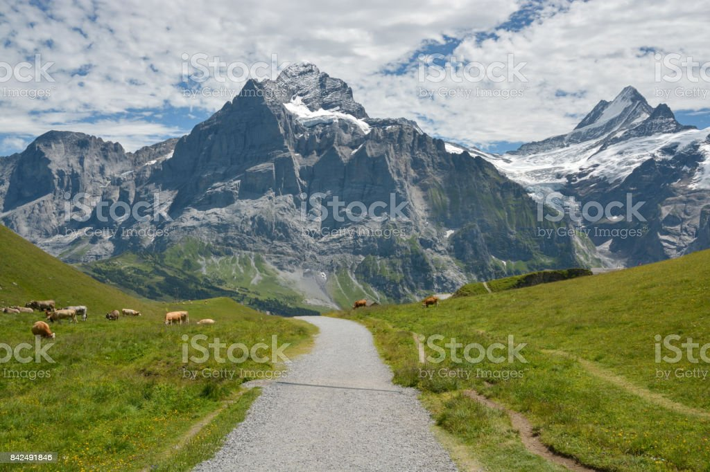 Grazing cows near Grindelwald, Switzerland stock photo