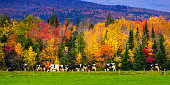 A herd cows graze in front of  a row of colorful trees in rural Vermont.
