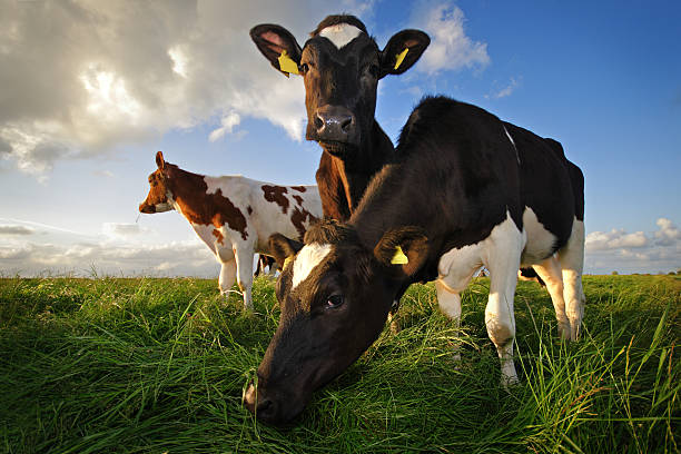 grazing cows - cow stock photos and pictures