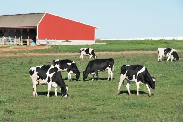 Grazing Dairy Cattle – Foto