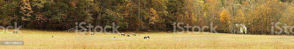 Grazing Elk Panorama stock photo