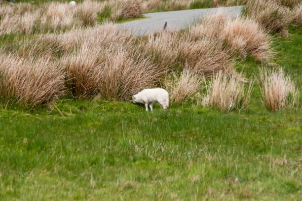 Grazing Ewe on Healy Pass stock photo
