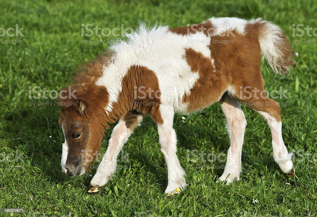Grazing Falabella Foal stock photo