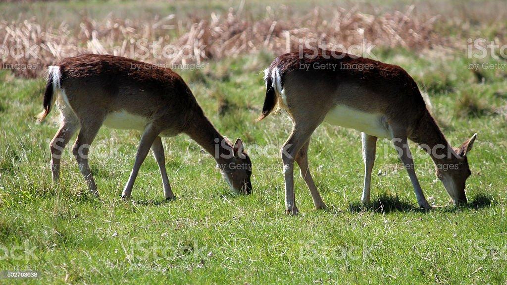 Grazing Fallow Deer stock photo