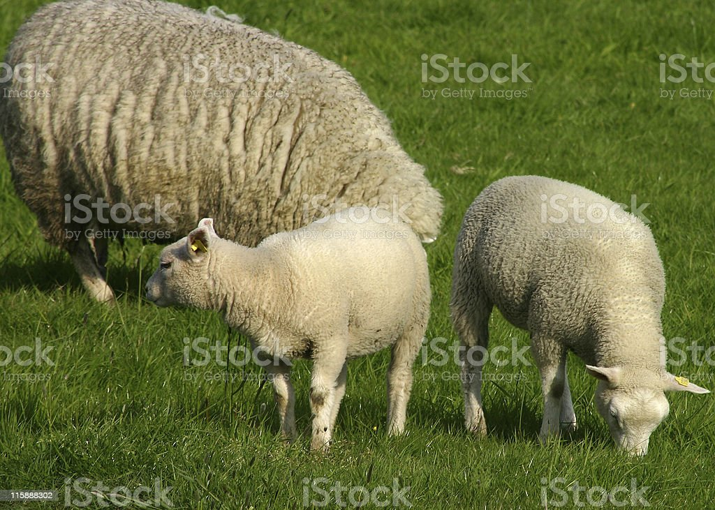 Grazing family of sheep royalty-free stock photo