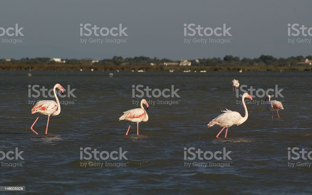 grazing flamingos royalty-free stock photo