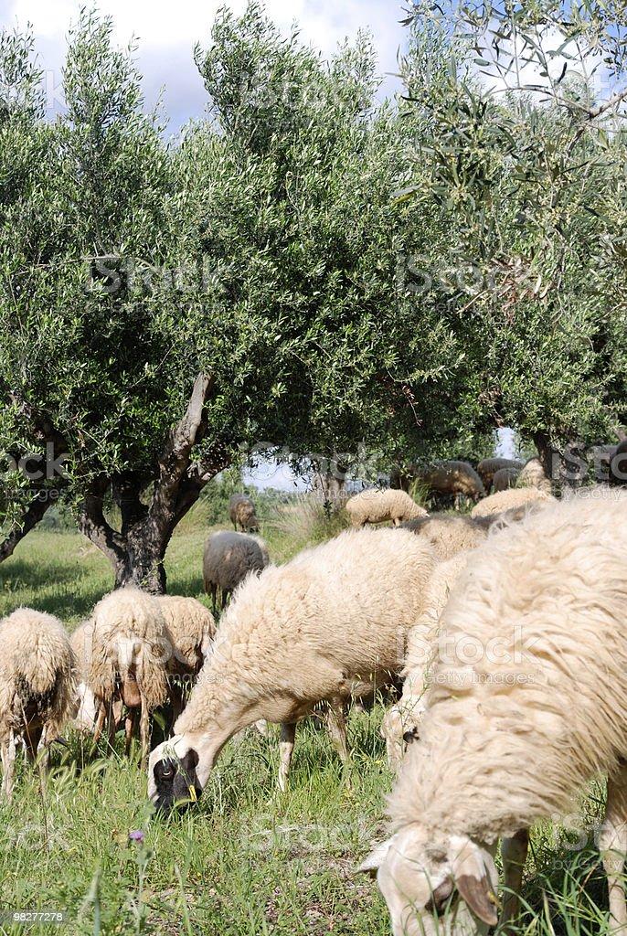Pascolare Gregge di pecore foto stock royalty-free