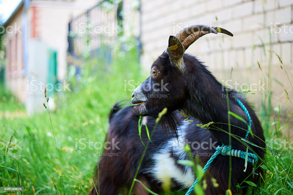 Grazing goat chewing on the grass stock photo