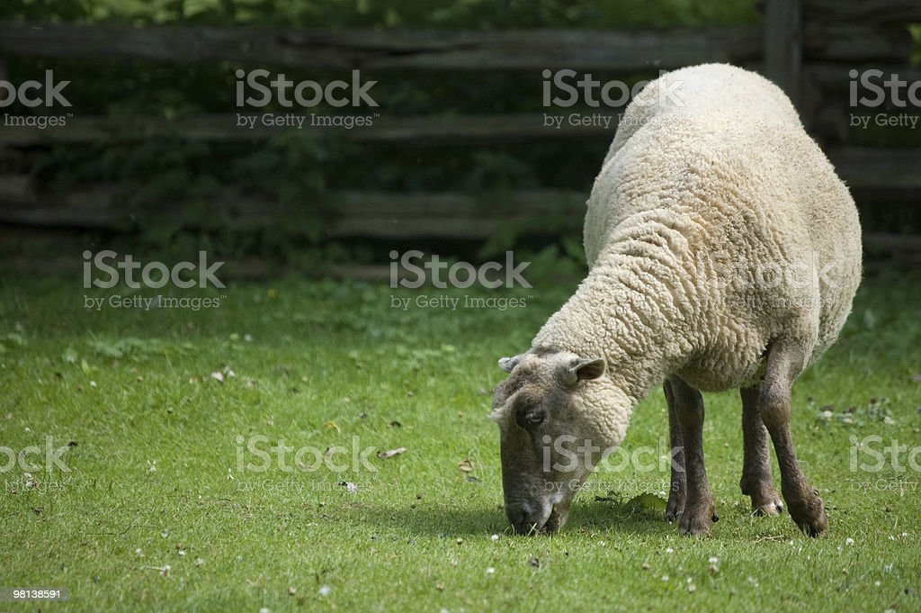 grazing grass royalty-free stock photo