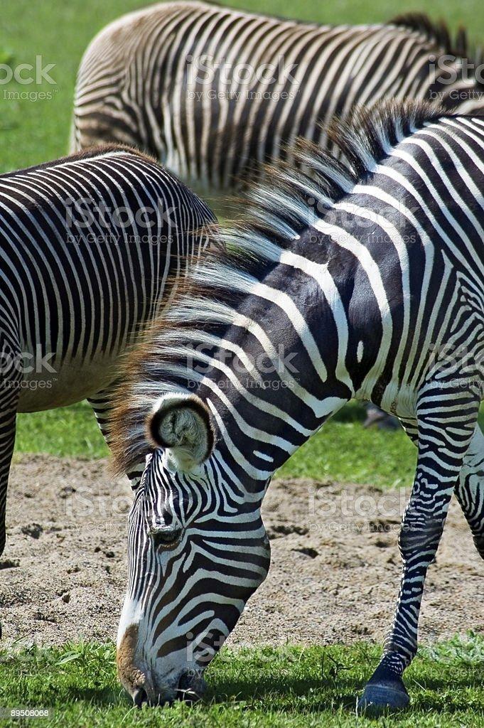 Grazing Grevy's Zebras (Equus grevyi) royalty-free stock photo