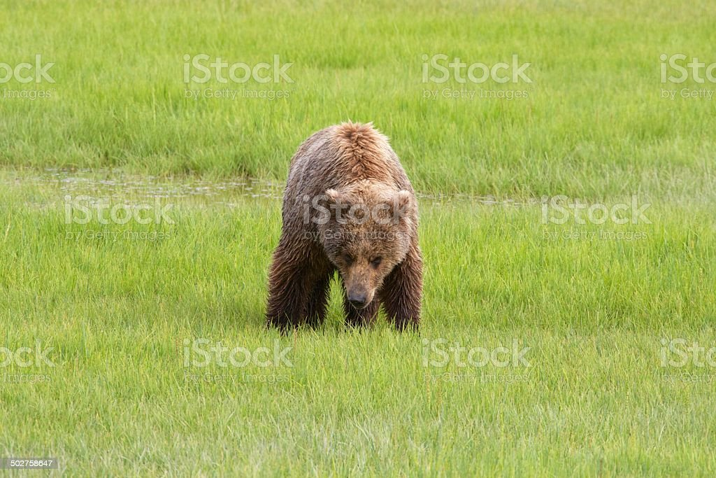 Grasen Grizzly – Foto