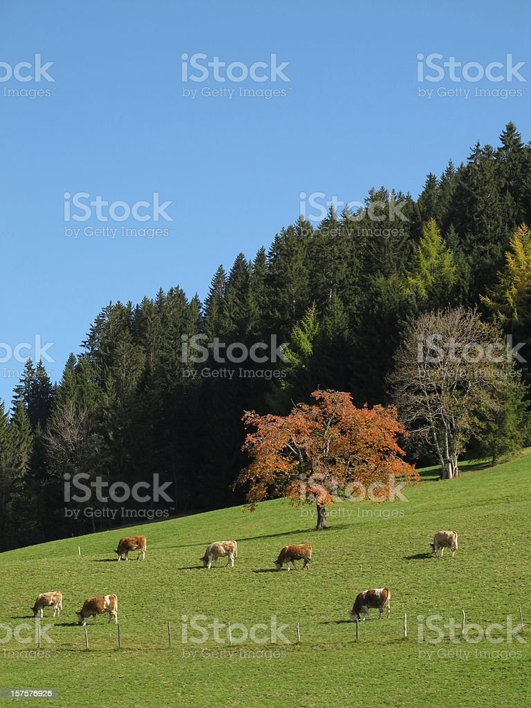 Grazing Herd Of Cows, Colorful Trees stock photo