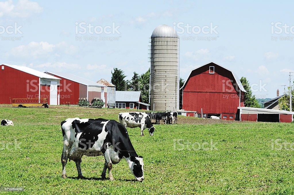 Grazing Holsteins stock photo