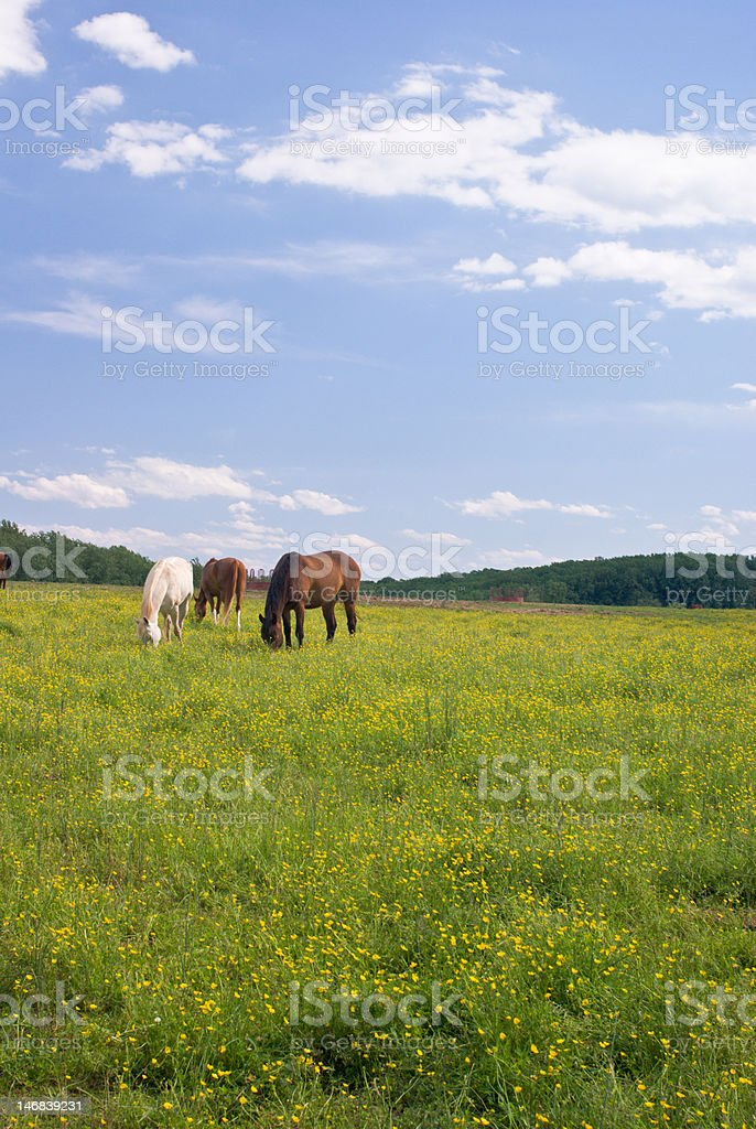 Grazing Horses in Field of Buttercups royalty-free stock photo
