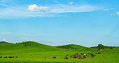 Grazing horses in summer on a horse pasture