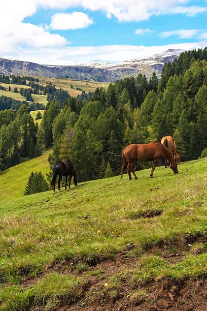 grasen pferde in den dolomiten - seiser alm stock-fotos und bilder