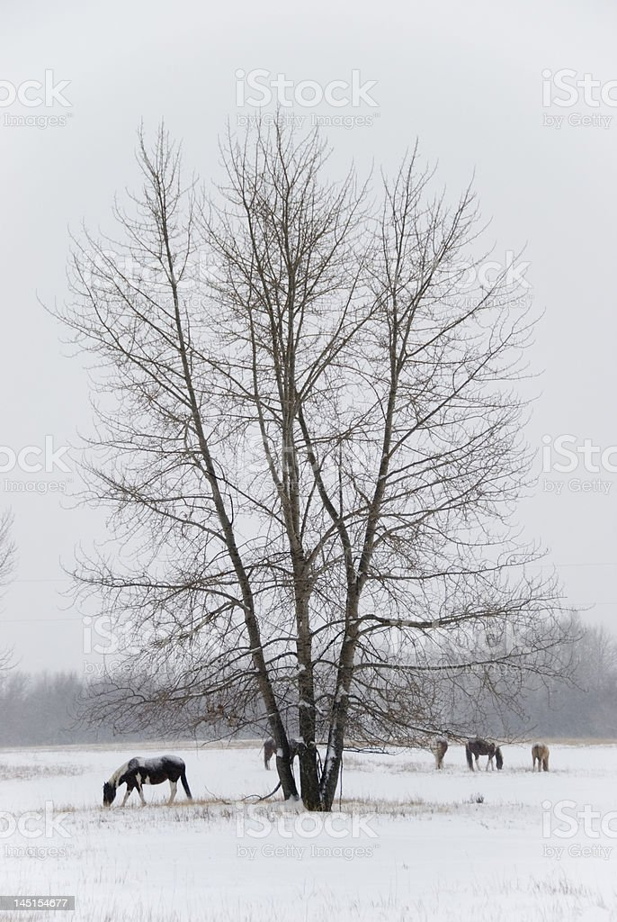 Grazing Horses in the Snow royalty-free stock photo