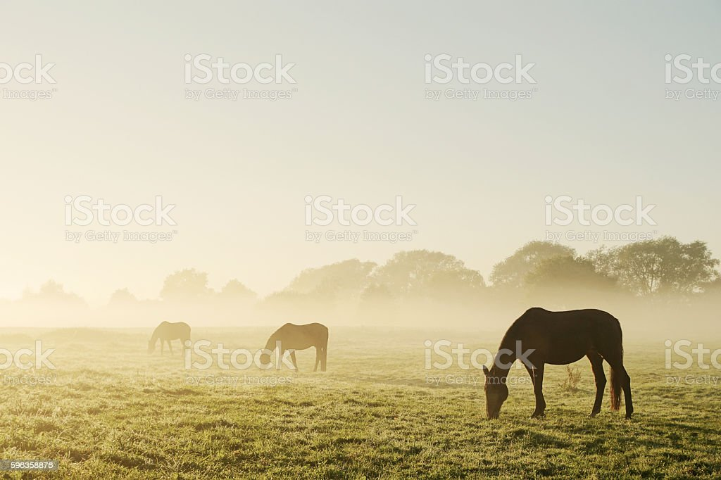 Grazing horses on a foggy morning stock photo