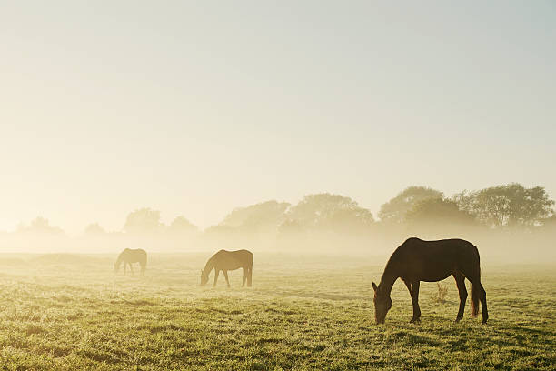 Grazing horses on a foggy morning Three horses are standing side by side, grazing, at increasing distance, making the farther ones almost disappear in the early morning fog. paddock stock pictures, royalty-free photos & images