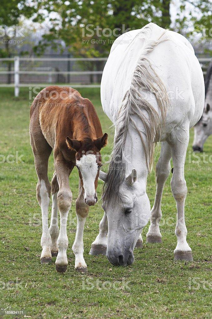 Grazing horses stock photo