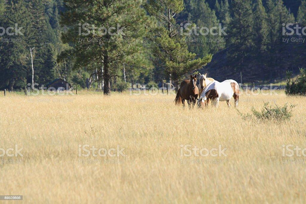 Chevaux paissant photo libre de droits
