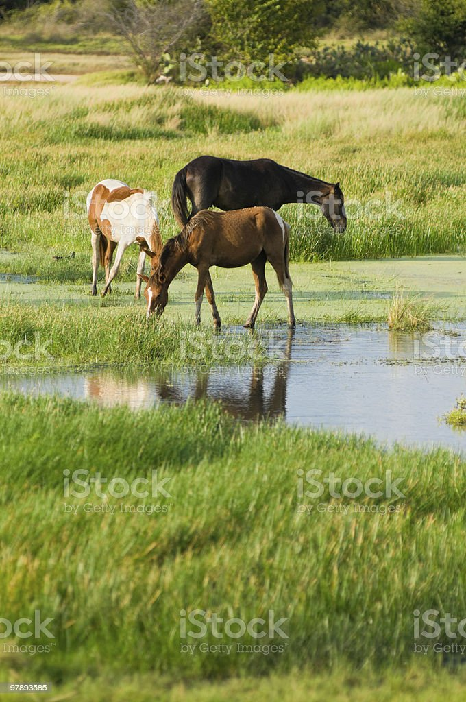 Grazing Horses royalty-free stock photo