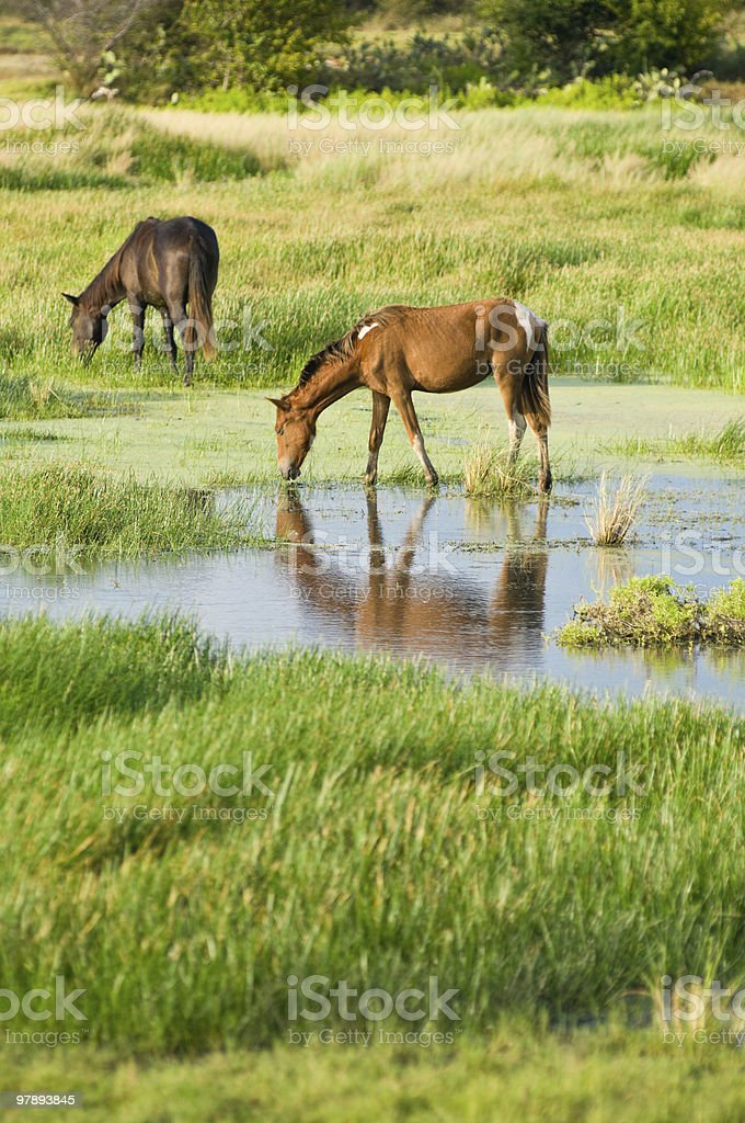 Grazing Horses royalty-free stock photo