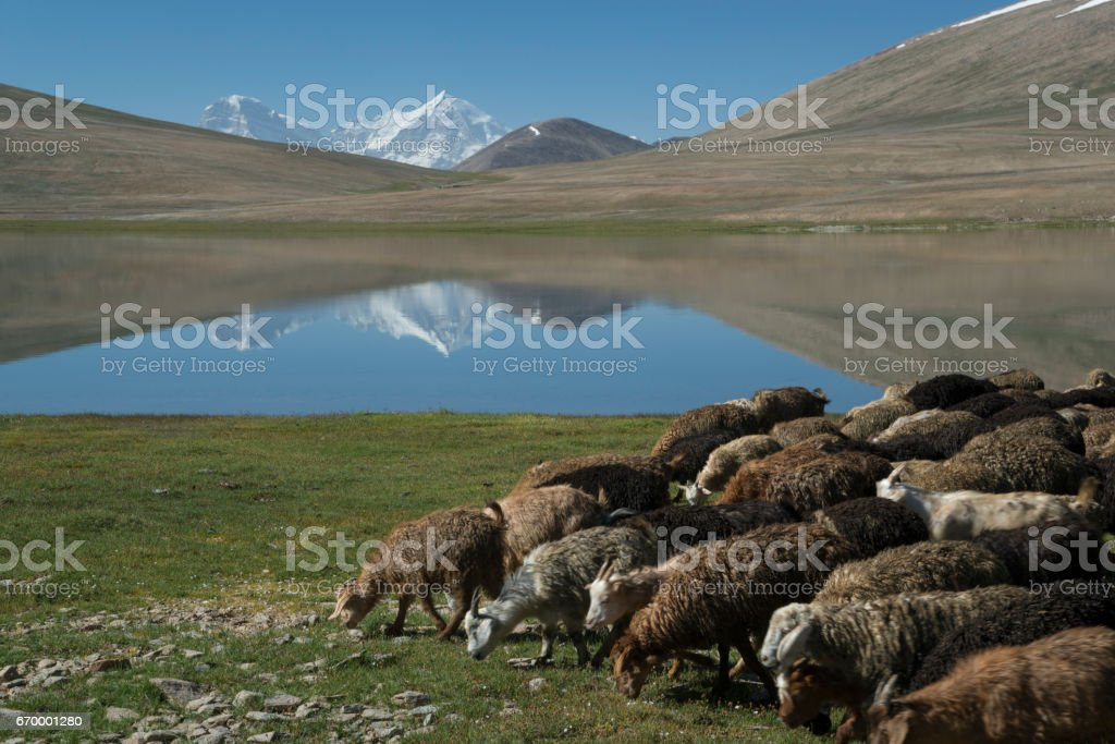 Grazing in high mountains stock photo