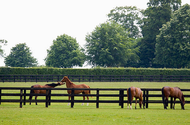 """Grazing in the Paddock """"Horses grazing and playing in the paddocks at a bloodstock stud farm near Newmarket, Suffolk. Newmarket is generally considered the birthplace and global centre of thoroughbred horse racing."""" paddock stock pictures, royalty-free photos & images"""