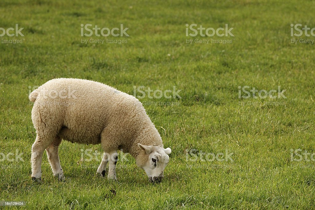 grazing lamb royalty-free stock photo
