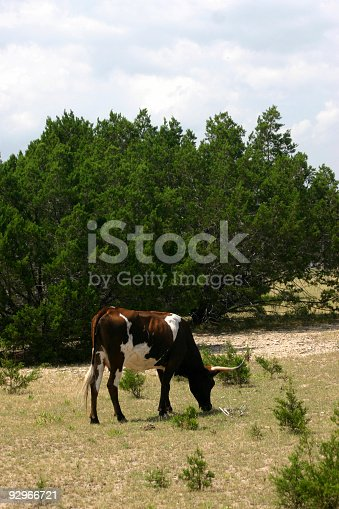 Grazing longhorn on prairie pasture