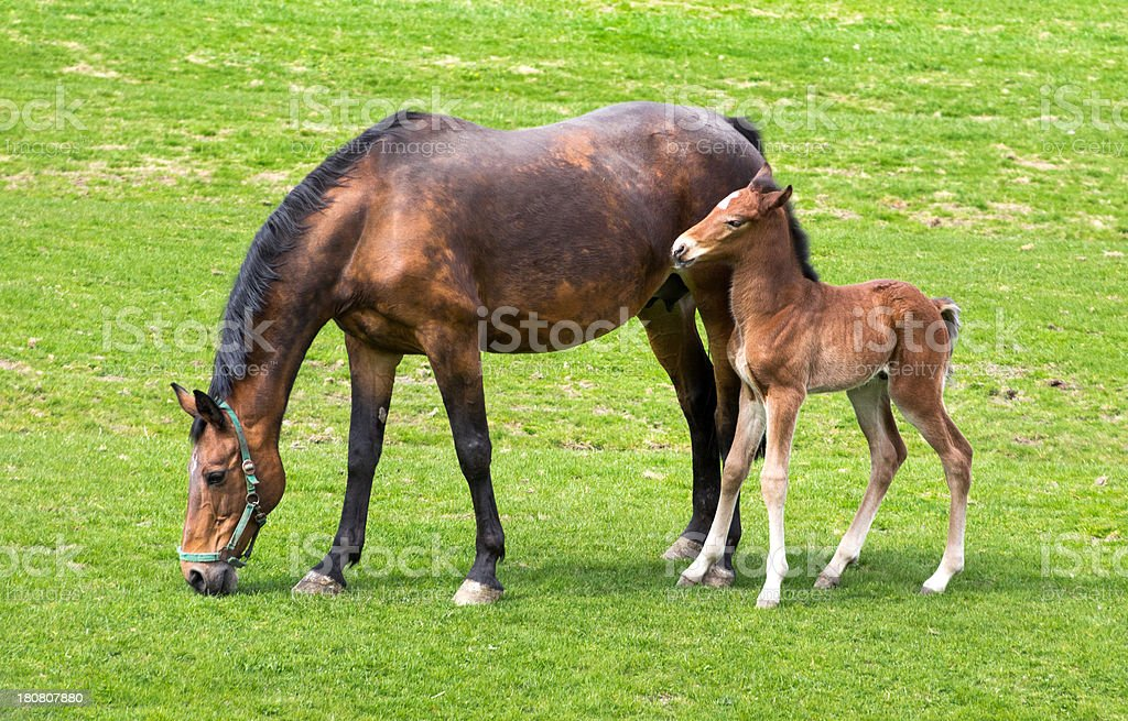 Grazing mare and his foals royalty-free stock photo