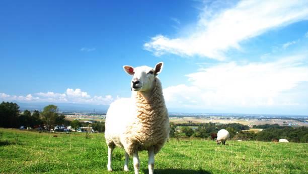 faire paître des moutons - année du mouton photos et images de collection