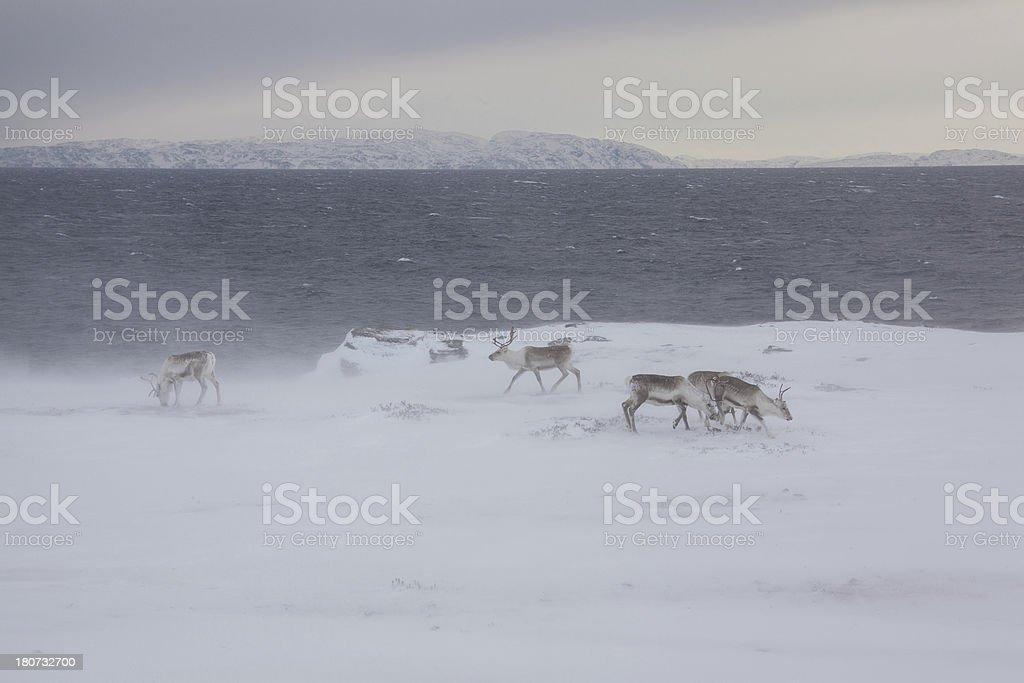 Grazing reindeer herd in the snow storm Norway stock photo