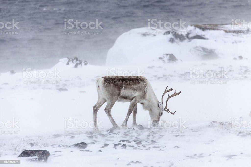 Grazing reindeer in the snow storm Norway stock photo