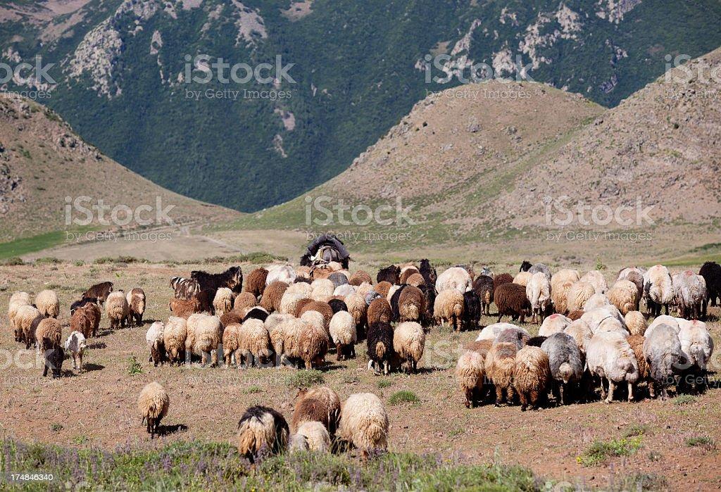 Grazing sheep herd in mountains of Anatolia, Turkey royalty-free stock photo