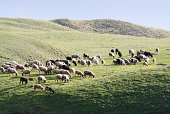 istock Grazing sheep in late afternoon. 484607343