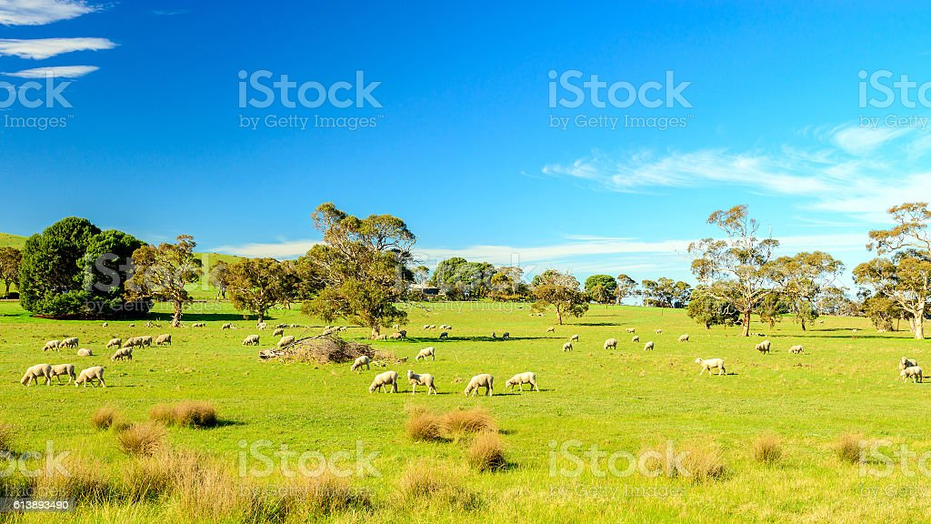 Grazing sheep in rural South Australia stock photo