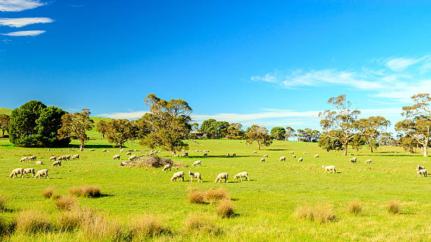 Grazing sheep in rural South Australia stock photo