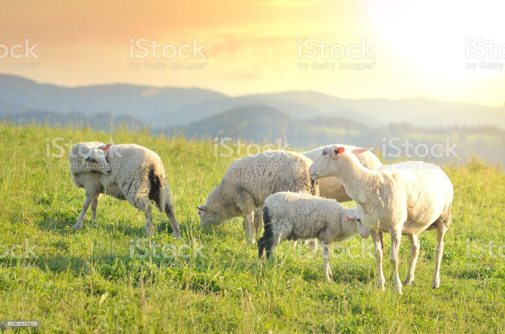 Grazing sheep on a meadow at sunset stock photo