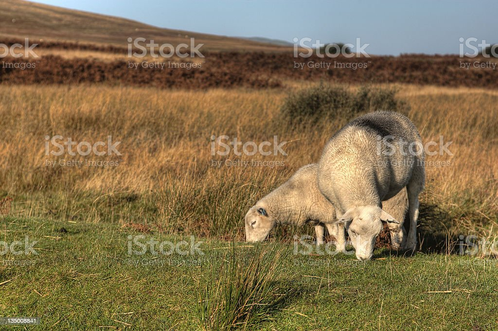 Grazing sheep on autumn moor royalty-free stock photo
