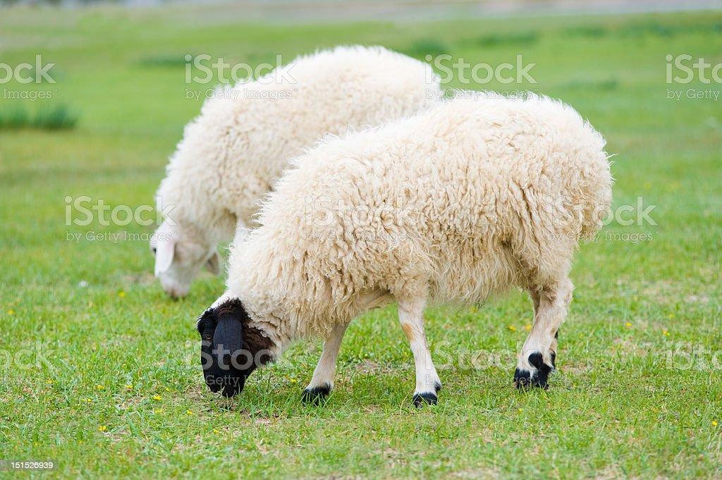 grazing sheep royalty-free stock photo