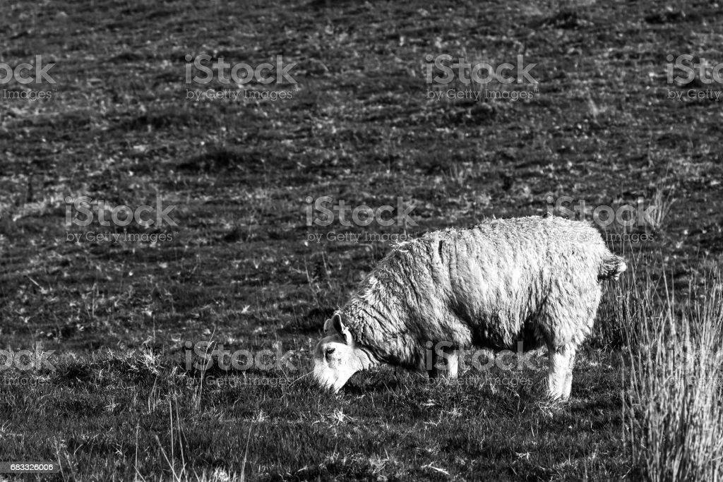Grazing sheep foto stock royalty-free