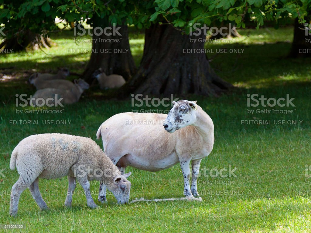 Grazing Sheeps at Blenheim Palace Park, Woodstock, Oxfordshire, England, UK. stock photo
